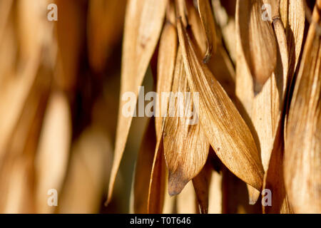 Ash (fraxinus excelsior), close up of the seeds or keys hanging on the tree. - Stock Image
