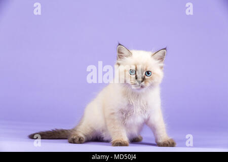 Beautiful kitten of pure bred - Stock Image
