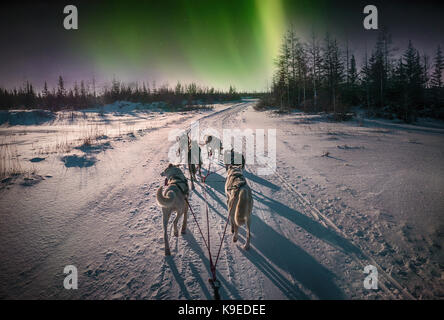 A team of six huskies pulling a dog sled on a snowy trail through the boreal forest with the aurora borealis or - Stock Image