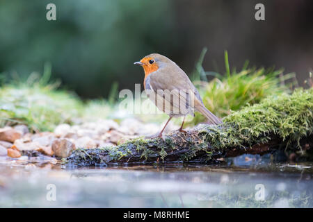 European Robin (Erithacus rubecula) at a frozen pond, Essex, UK - Stock Image