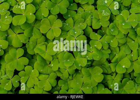 Closeup on Oxalis plant in the garden on springtime, with some water drops - texture or background - Stock Image