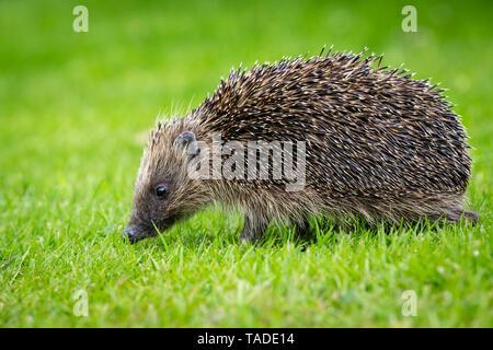 Hedgehog, (Scientific name: Erinaceus Europaeus) wild, native, European hedgehog in natural garden habitat.  Green lawn and green blurred background.  - Stock Image