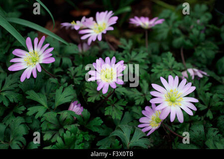 Anemone blanda 'Charmer' close up of flowers - Stock Image