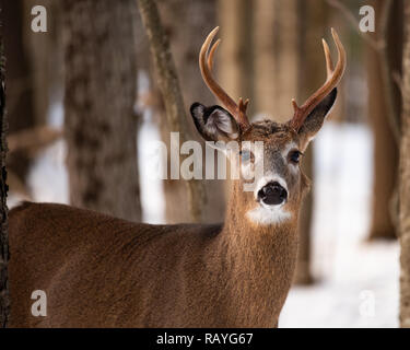An elusive trophy whitetail deer buck hiding in the forest in the Adirondack Mountains wilderness. - Stock Image