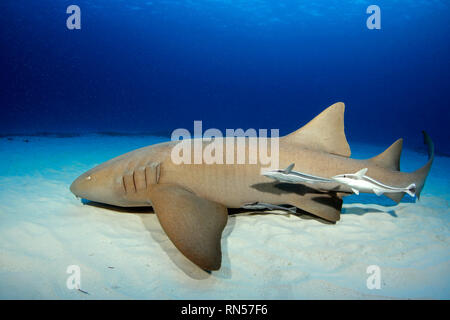 Nurse Shark (Ginglymostoma cirratum) with Three Remoras, along White Sand Bottom and against Blue Water. Bimini, Bahamas - Stock Image