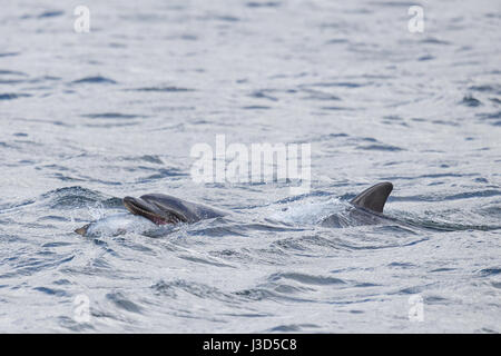 Bottlenose dolphin with salmon at Chanonry Point - Stock Image