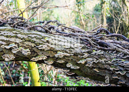 A fallen dead tree trunk showing old ivy vines that died with it and many bracket fungi (Trametes versicolor) - Stock Image