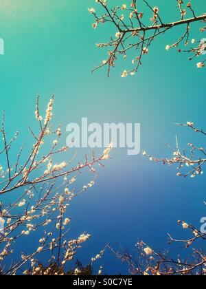 White plum blossoms against evergreen tree branches and blue sky in Spring, with turquoise and purple gradation - Stock Image