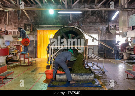 Horizontal view of workers at a tea factory in Munnar, India. - Stock Image