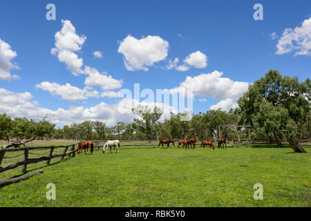 Horses grazing in a paddock at Woodleigh Cattle Station, near Ravenshoe, Atherton Tablelands, Far North Queensland, QLD, FNQ, Australia - Stock Image