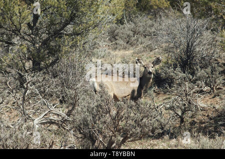 Mule deer in the foothills of the San Juan Mountains, Colorado. Digital photograph - Stock Image