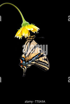 A Western Tiger Swallowtail (Papilio rutulus) hanging from a yellow flower - side view on a black background - Stock Image
