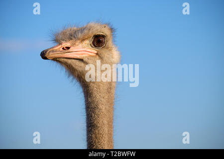 Head shot of adult ostrich against blue sky - Stock Image