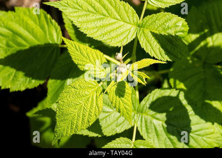 New spring leaf growth and buds on a raspberry plant growing in a vegetable garden in north east Italy - Stock Image