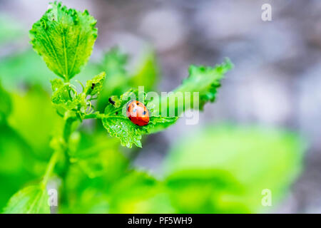 Ladybug, or Ladybird beetle, Coccinella magnifica, on a Rose of Sharon plant in Wichita, Kansas, USA. - Stock Image