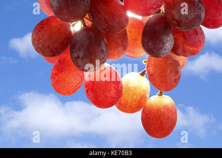 The Sun shining through a bunch of red grapes - Stock Image