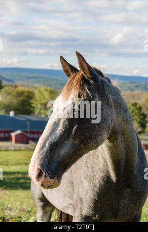 Profile of a grey flea bitten pattern horse against a background of fields in rural New Jersey - Stock Image