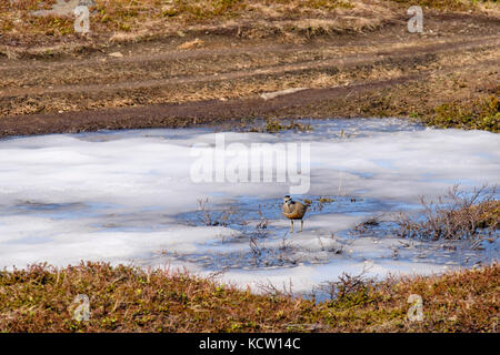 Dotterel (Charadrius morinellus) in summer breeding plumage on a frozen pond in Arctic Tundra landscape on Mount - Stock Image