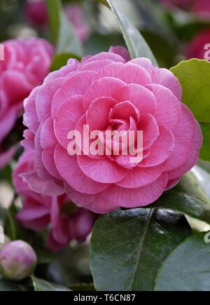 Camellia Bill Stewart - Stock Image