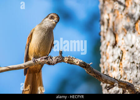 Curious Siberian jay bird on branch - Stock Image