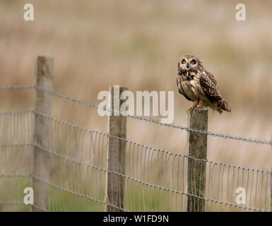 A wild Short Eared Owl (Asio Flammeus) perched on wooden fence post, North Uist, Outer Hebrides, Scotland - Stock Image