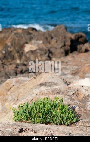 north eastern coast of Ibiza Island, Rock Samphire shrubs on rocks, Balearic Islands, Mediterranean Sea, Spain, Europe - Stock Image