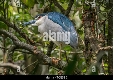 Stork standing in a tree, Indonesia - Stock Image