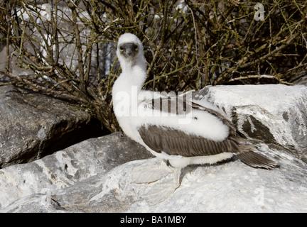 Blue-footed Booby Chick, Sula nebouxii, Sulidae, Espanola Island, Galapagos Archipelago, Ecuador, South America - Stock Image