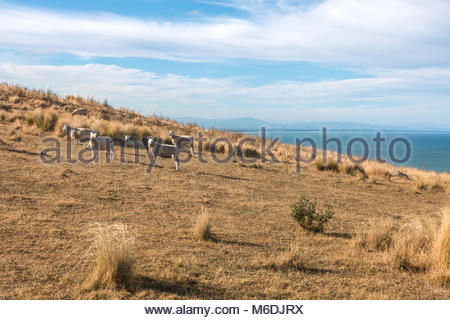 Flock of sheep on a pasture, Canterbury, New Zealand - Stock Image