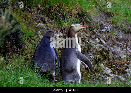 Yellow-eyed Penguin (Megadyptes antipodes) mother and baby leaving their nest - Stock Image