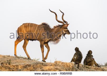 Greater kudu (Tragelaphus strepsiceros), Chobe national park, Botswana - Stock Image
