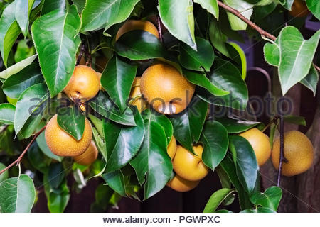Fruit of Nashi pear tree (Pyrus pyrifolia kumoi) is being eaten by German wasp (Vespula germanica). - Stock Image