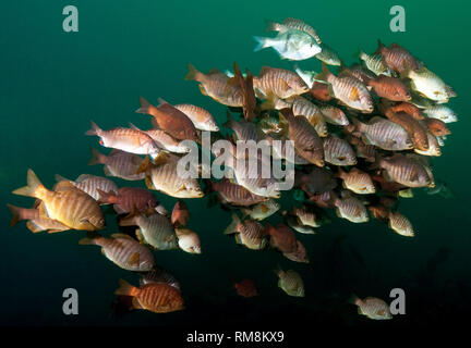 School of Perch Over the Wreck of the Avalon - Stock Image