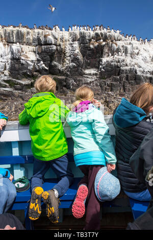 Common Guillemots on breeding cliffs on the Farne Islands, Northumberland, UK with wildlife tourists on a boat trip. - Stock Image