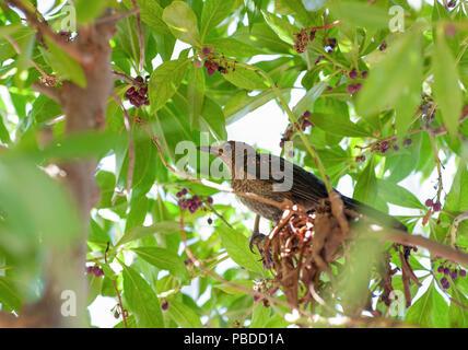 female Blue Rock Thrush, (Monticola solitarius), Ibiza, Balearic Islands, Mediterranean Sea, Spain - Stock Image