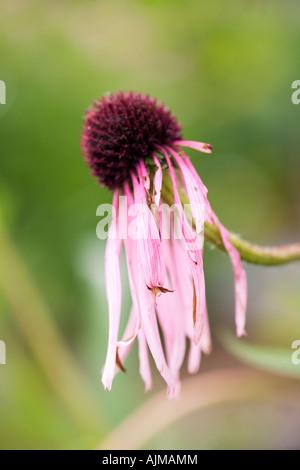 Wilted Echinacea purpurea Coneflower Elm Bank Wellesley Massachusetts - Stock Image