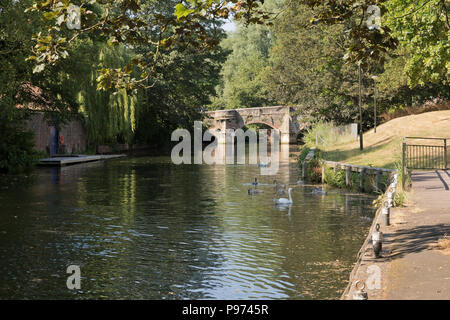A family of mute swans near the historic Bishop Bridge which crosses the river Wensum in Norwich, UK. - Stock Image