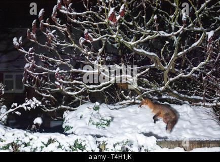 adult Red Fox, Vulpes vulpes, in suburban garden  London, United Kingdom - Stock Image