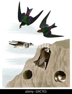 1 Bank Swallow, Riparia riparia, 2 Violet-green Swallow, Tachycineta thalassina, birds, 1827 - 1838 - Stock Image