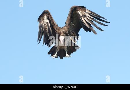 African Hooded vulture (Necrosyrtes monachus) in flight. - Stock Image