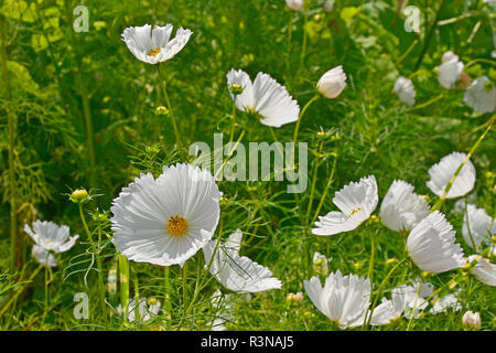 Close up of a flower border with flowering Cosmos bipinnatus 'Cupcakes White' - Stock Image