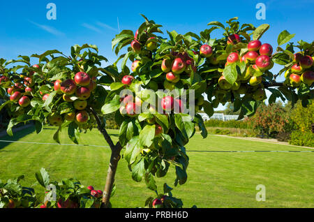 Apple tree espalier fixed on a wire fence  with bright red and yellow apples in Helmsley Walled Garden in autumn - Stock Image