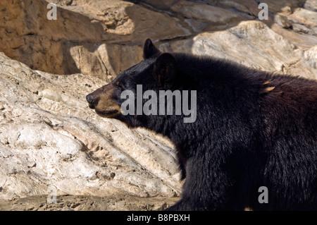 Black bear San Antonio Zoo Texas tx wild animals outdoors popular tourist attraction - Stock Image