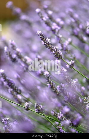 close up of Lavender bud with shallow depth of field - Stock Image