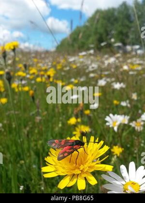 Six-spot burnet moth (Zygaena filipendulae) on dandelion flower in meadow, Ashton Court Park, Bristol, UK, June. - Stock Image