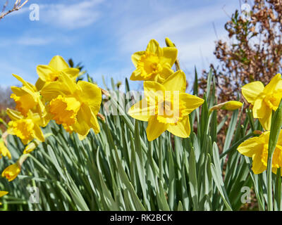 Daffodil or narcissus of the amaryllidaceae family of bright yellow and early blooming garden flower grown in home gardens. - Stock Image