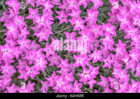 pink flower wallpaper, Dianthus carthusianorum - Stock Image