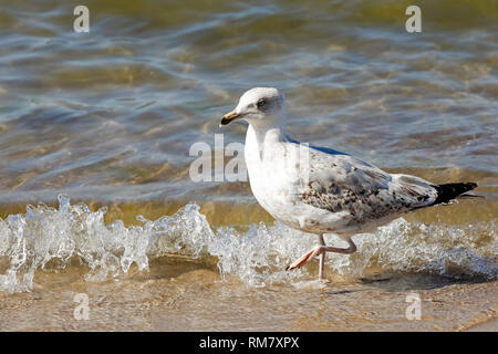 Sea gull, which slowly walks along the waves of the Baltic Sea, is seen at Kolobrzeg beach in Poland. - Stock Image
