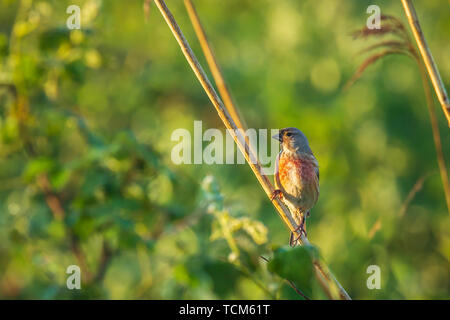 Closeup portrait of a male Linnet bird, Carduelis cannabina, with red breast, display and searching for a mate during Spring season. Singing in the ea - Stock Image