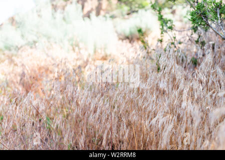 Closeup of dry grass plants on Main Loop trail in Bandelier National Monument in New Mexico - Stock Image